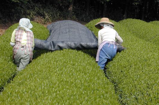 かぶせ茶 通販 無農薬