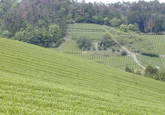 無農薬 自然農法 お茶