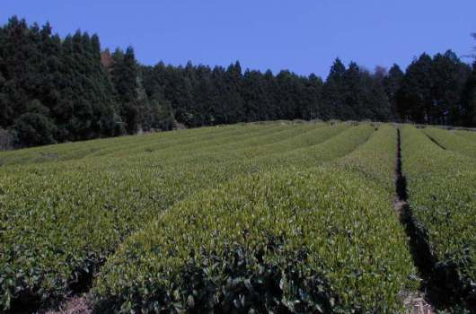無農薬・有機栽培茶 大和茶