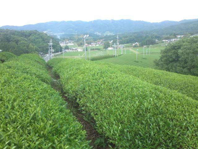 煎茶 在来種